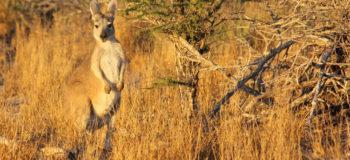 Un kangourou dans son environnement naturel en Australie