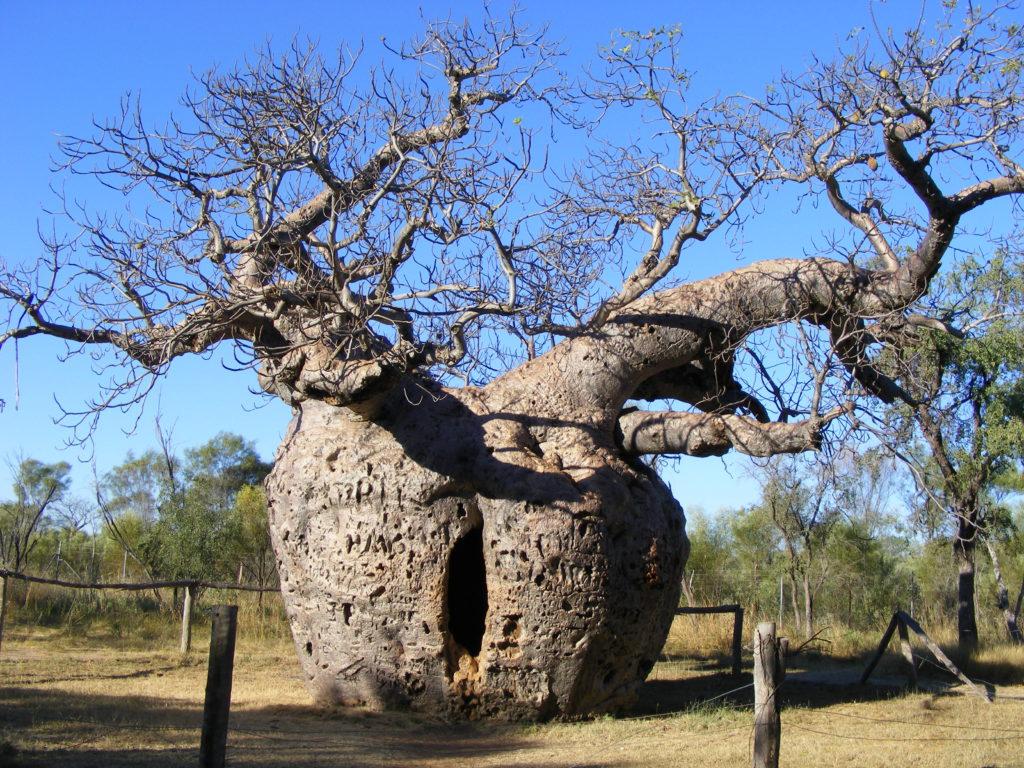 Baobab tree prison