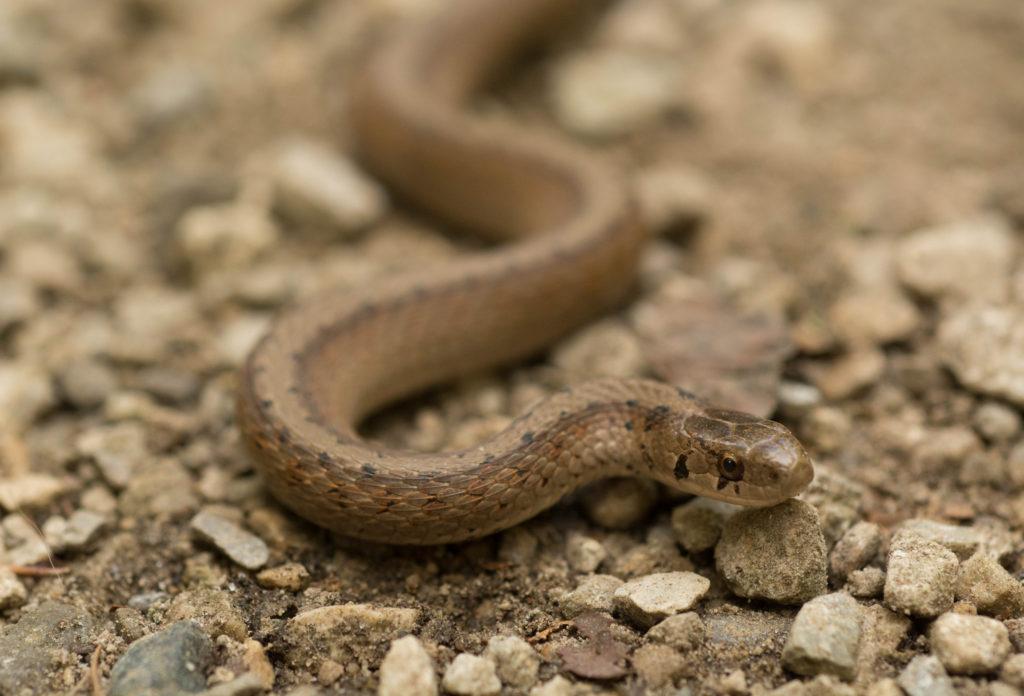 Brwon snake