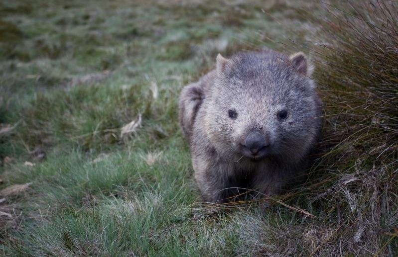 Wombat. Photo :Andy Tyler / flickr