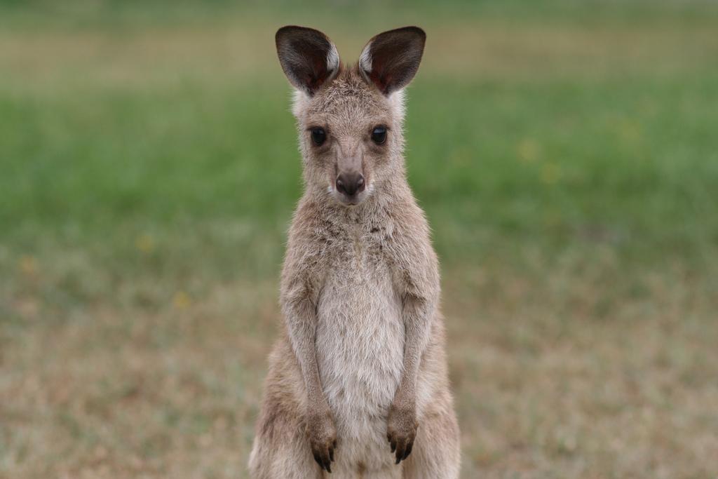 Un kangourou immobile en premier plan