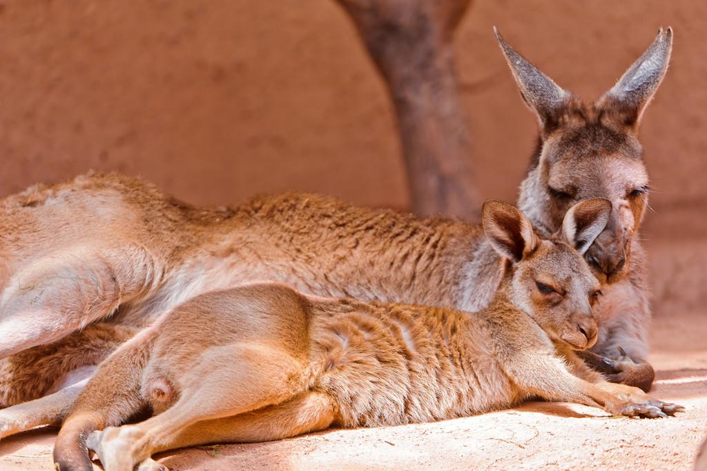arc aux myocastors et aux kangourous