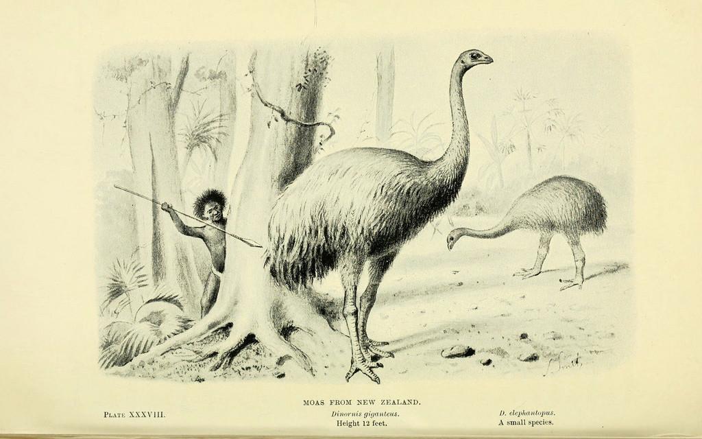 Dinornis Photo : Biodiversity Heritage Library