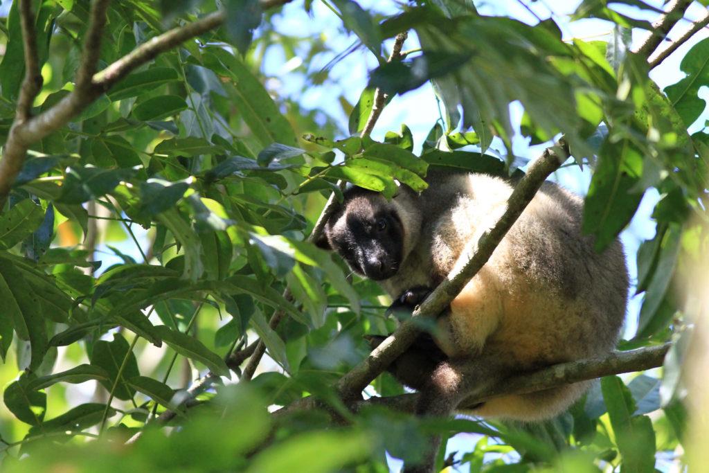 kangourous arboricoles sur une branche à Nerada