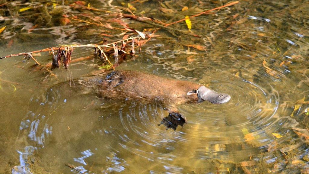 Ornithorynque nage dans l'eau