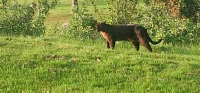 Légendes et monstres australiens : le Gippsland Phantom Cat