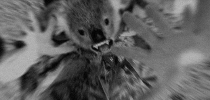 Légendes et monstres australiens : le drop bear